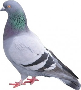 pigeon freemobile
